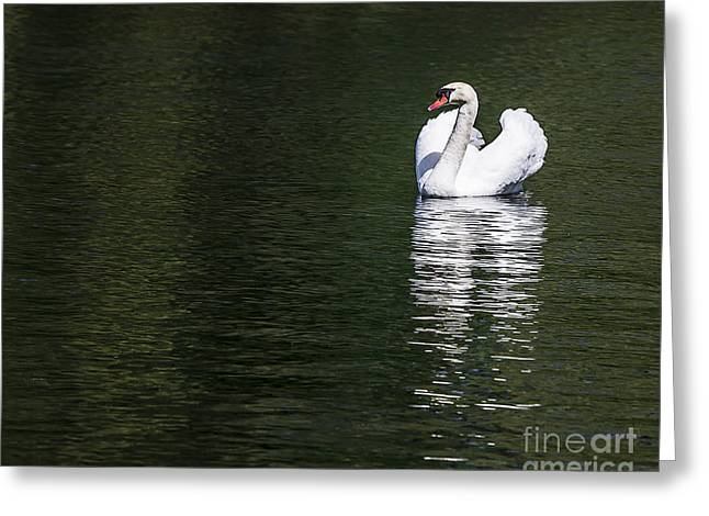 White Pyrography Greeting Cards - White Swan On The Lake Greeting Card by Olga Photography