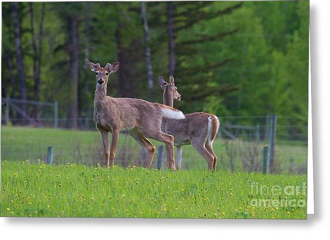 White Tail Deer Greeting Card by Naman Imagery