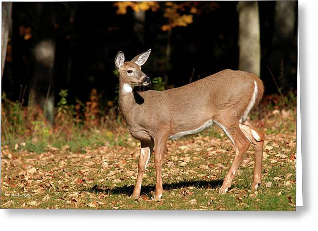 White Tailed Deer In Autumn Greeting Card by Christina Rollo