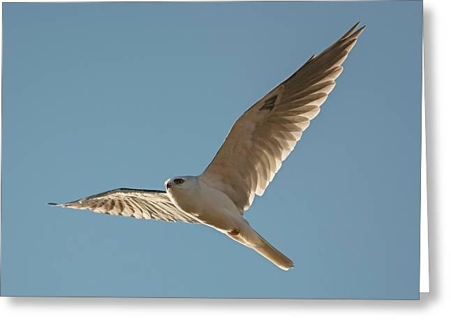 White-tailed Kite In Morning Light Greeting Card by Loree Johnson