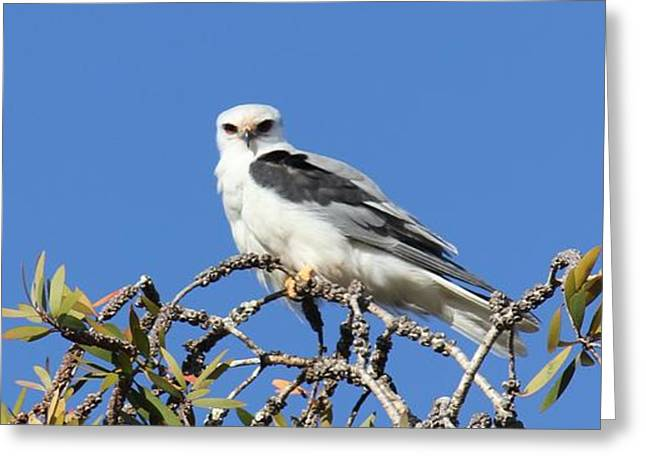 Kite Greeting Cards - White Tailed Kite Greeting Card by Michael Fischer