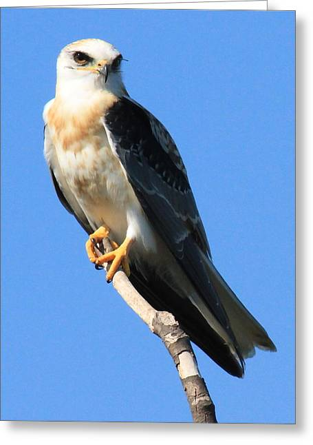 Recently Sold -  - Kite Greeting Cards - White-tailed Kite Greeting Card by Paul Marto