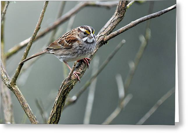 Feeding Birds Greeting Cards - White Throated a Sparrow Greeting Card by Laura Mountainspring