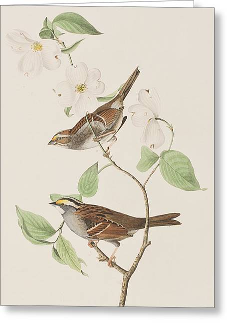Sparrow Greeting Cards - White throated Sparrow Greeting Card by John James Audubon