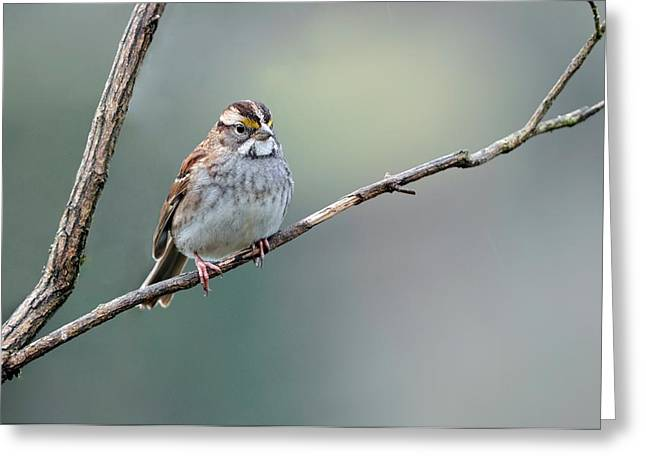 Feeding Birds Greeting Cards - White Throated Sparrow Greeting Card by Laura Mountainspring