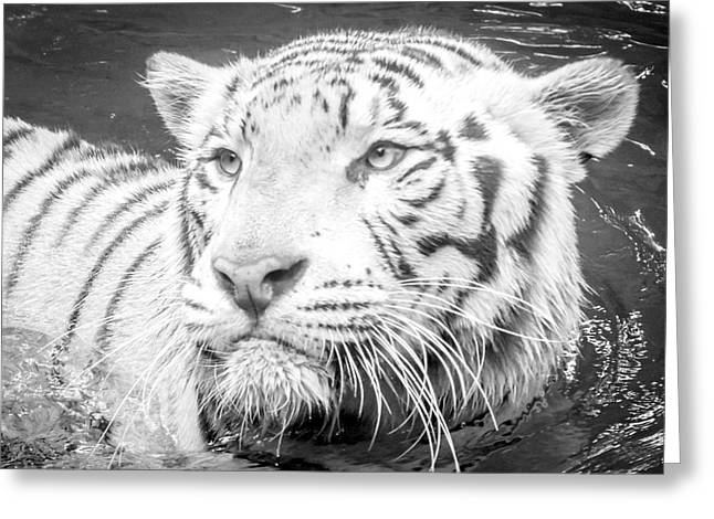 Concept Photographs Greeting Cards - White Tiger 2 Greeting Card by Jijo George