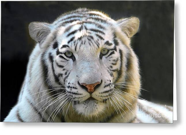 White Tiger Greeting Card by David Lee Thompson