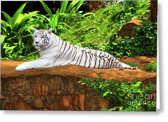 Tigress Greeting Cards - White tiger Greeting Card by MotHaiBaPhoto Prints