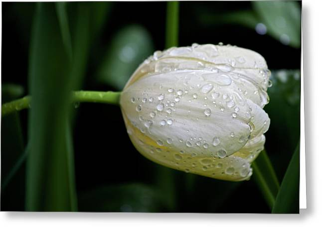 Wet Tulip Greeting Cards - White Tulip and Raindrops Greeting Card by Robert Ullmann