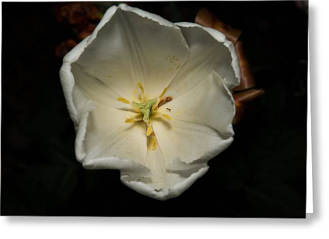 White Pyrography Greeting Cards - White Tulip Greeting Card by Cristofer Zorzetto