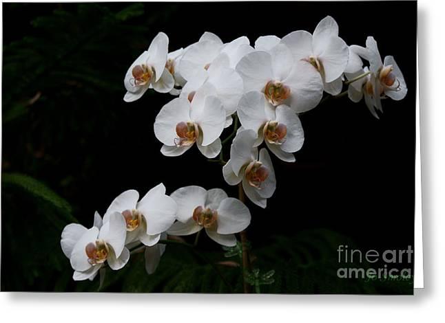 Phalenopsis Greeting Cards - White Velvet Greeting Card by Joanne Smoley