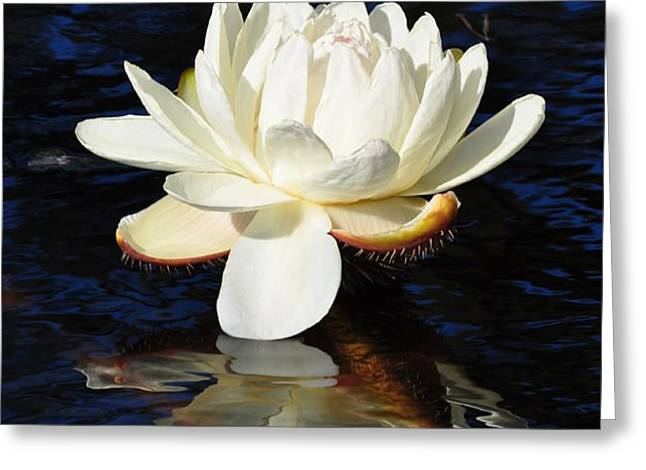 White Water Lily Greeting Card by Andrea Everhard