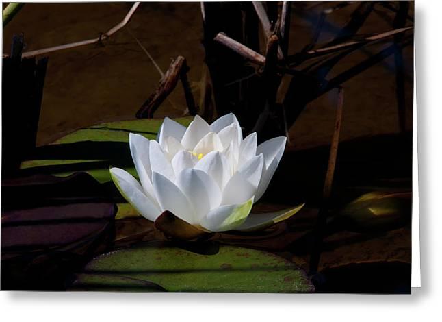 White Water Lily Greeting Card by Glenn Thomas Franco Simmons