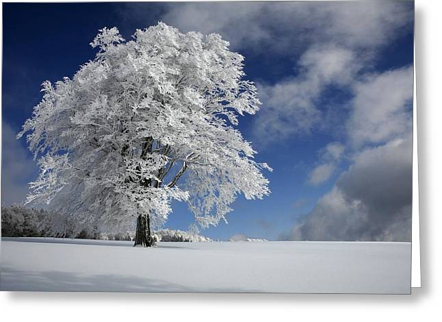 Frost Greeting Cards - White Windbuche In Black Forest Greeting Card by Franz Schumacher