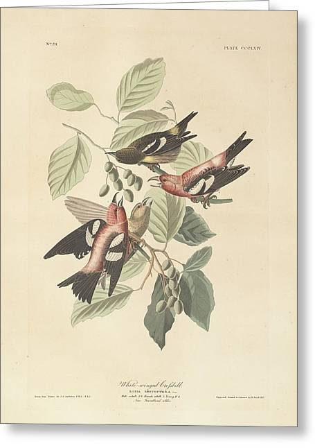 White Paintings Greeting Cards - White Winged Crossbill Greeting Card by John James Audubon