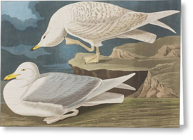 White Wing Greeting Cards - White-winged silvery Gull Greeting Card by John James Audubon