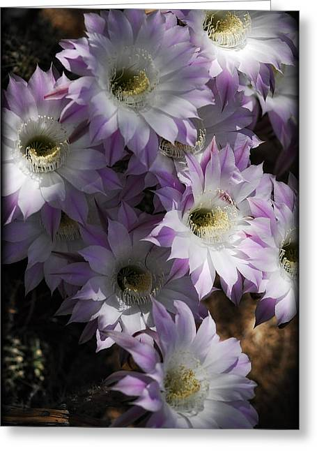 White Cactus Flower Greeting Cards - White with a Hint of Pink Greeting Card by Saija  Lehtonen