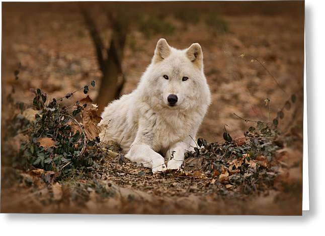 Arctic Wolf Greeting Cards - White Wolf Greeting Card by Sandy Keeton