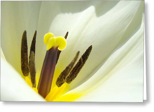 Baslee Troutman Greeting Cards - White Yellow Tulip Flower Fine Art Prints Greeting Card by Baslee Troutman