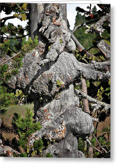Crater Lake Greeting Cards - Whitebark Pine Tree - Iconic Endangered Keystone Species Greeting Card by Christine Till