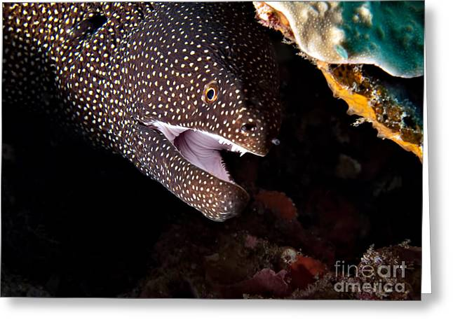 Asien Greeting Cards - Whitemouth Moray Eel Greeting Card by Joerg Lingnau