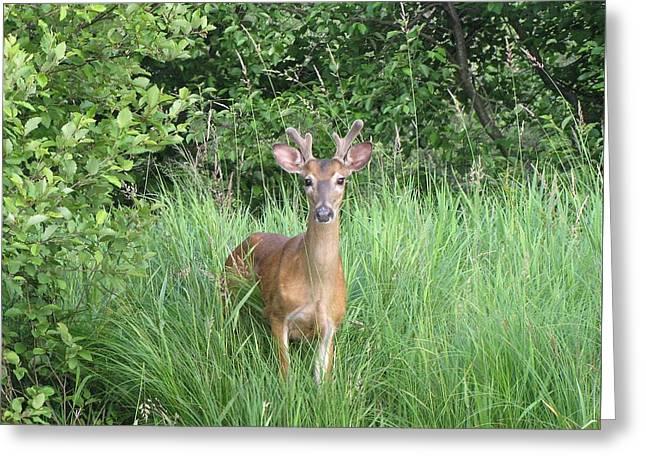 Deer Camp Greeting Cards - Whitetail Buck in Velvet Greeting Card by Jane Greiner