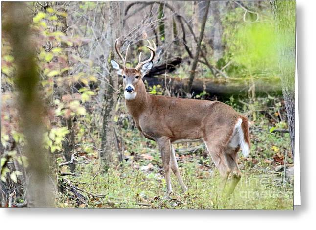 Whitetail Buck Greeting Card by Steve  Gass