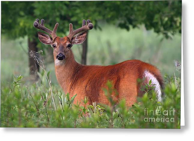 Rack Greeting Cards - Whitetail deer buck in summer Greeting Card by Mircea Costina Photography