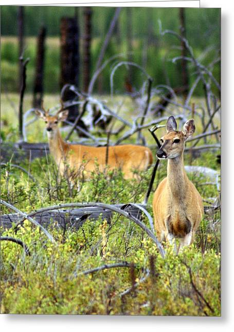 Marty Koch Greeting Cards - Whitetails Greeting Card by Marty Koch