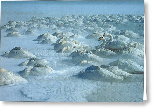 Whooper Swans in Snow Greeting Card by Teiji Saga and Photo Researchers