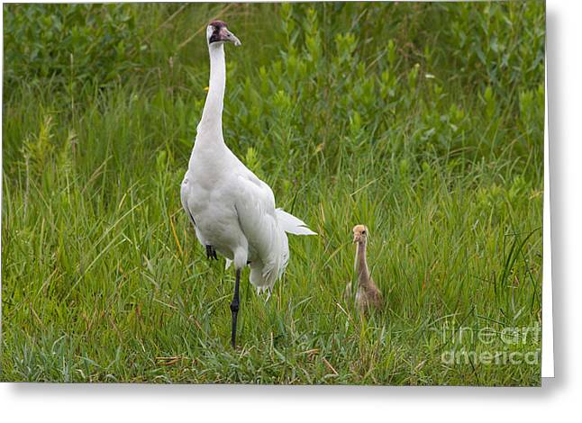 Whooping Crane And Chick Greeting Card by Scott Nelson