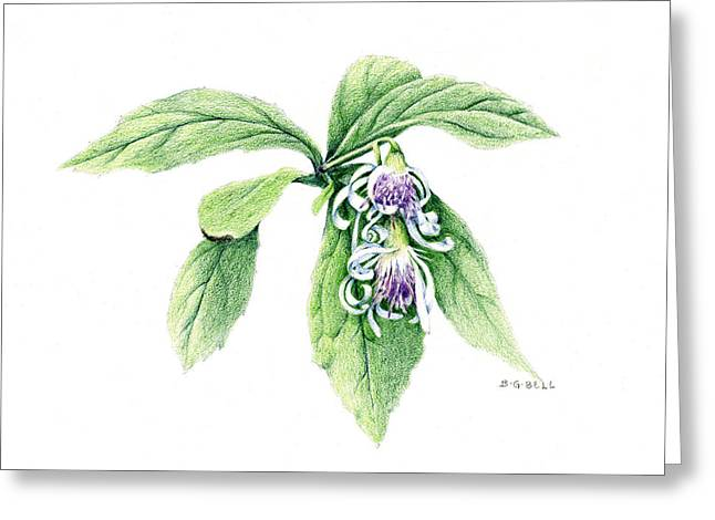 Aster Drawings Greeting Cards - Whorled Wood Aster Greeting Card by Betsy Gray