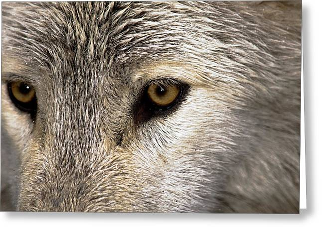 Hairy Wolf Greeting Cards - Whos Afraid Greeting Card by Jim DeLillo