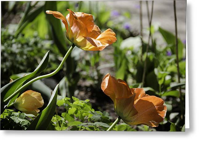 Spring Bulbs Greeting Cards - Wide Open Tulips Greeting Card by Teresa Mucha