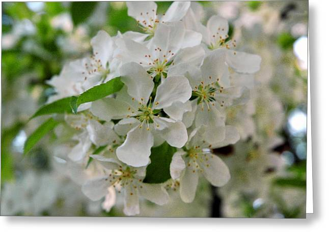Wild Orchards Greeting Cards - Wild Apple Blossom Greeting Card by LeeAnn McLaneGoetz McLaneGoetzStudioLLCcom