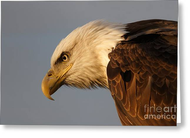 Morgan Hill Greeting Cards - Wild Bald Eagle in Virginia Greeting Card by Morgan Hill