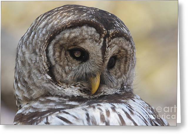 Morgan Hill Greeting Cards - Wild Barred Owl Greeting Card by Morgan Hill