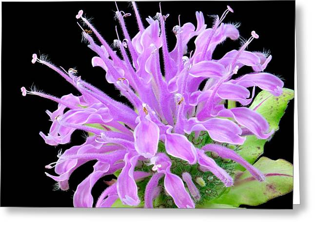 Balm Greeting Cards - Wild Bergamot also known as Bee Balm Greeting Card by Jim Hughes