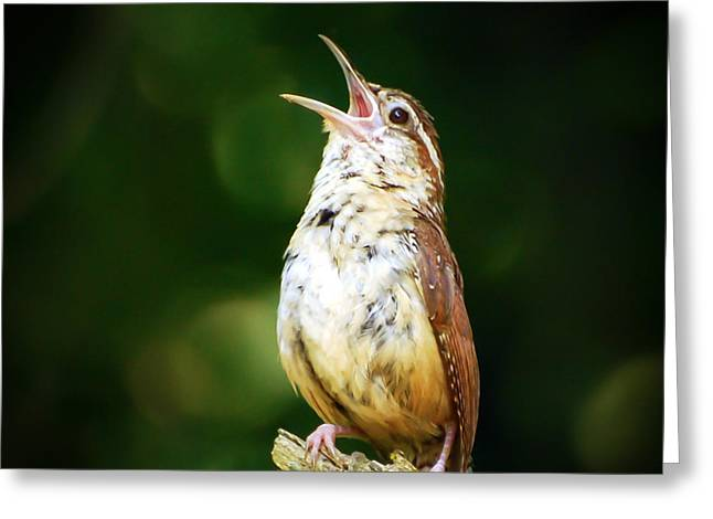 Wild Birds - Carolina Wren Greeting Card by Kerri Farley