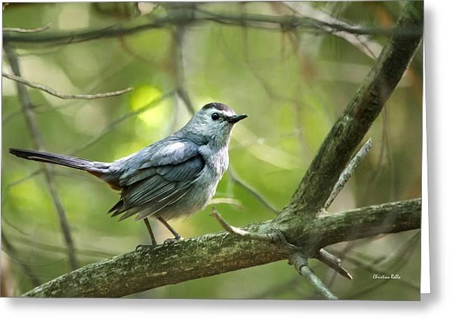 Bird Species Greeting Cards - Wild Birds - Gray Catbird Greeting Card by Christina Rollo