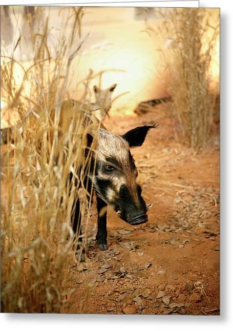 Wild Boar Greeting Cards - Wild Boar Greeting Card by Marilyn Hunt