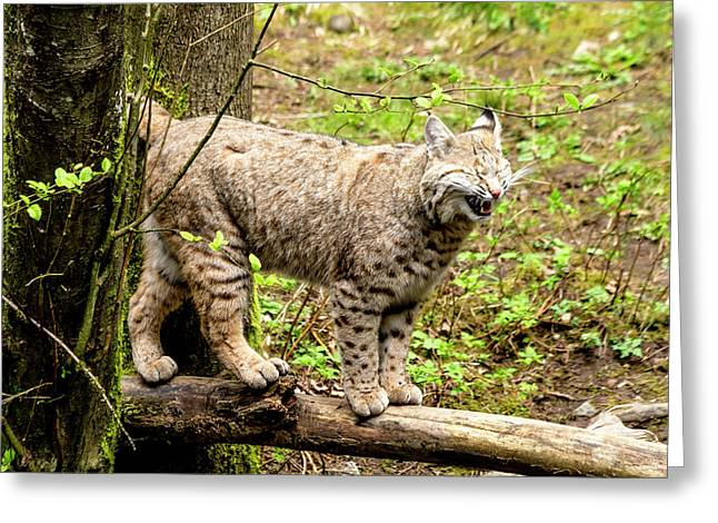 Wild Bobcat In Mountain Setting Greeting Card by Teri Virbickis