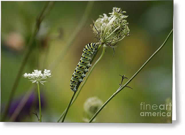 High Virginia Images Greeting Cards - Wild Carrot Feast Greeting Card by Randy Bodkins