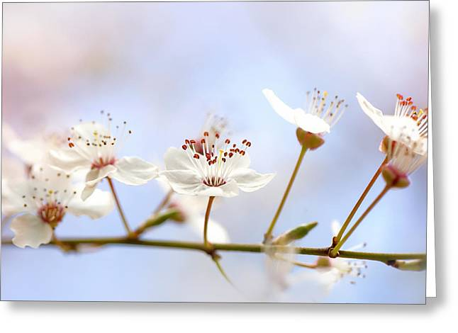 Wild Cherry Blossom Greeting Card by Jacky Parker