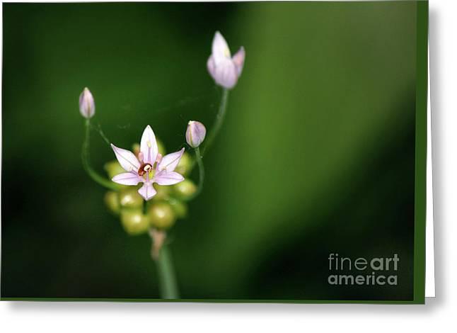 Wild Garlic - Allium Canadense Greeting Card by Codee Hart