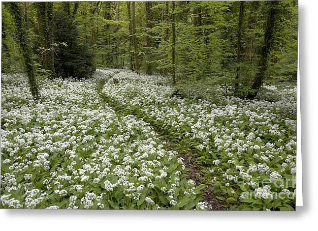 Forest Floor Greeting Cards - Wild Garlic Flowers In Woodland Greeting Card by Simon Booth