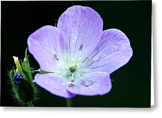 Purple Geranium Greeting Cards - Wild Geranium 2 Greeting Card by Larry Ricker