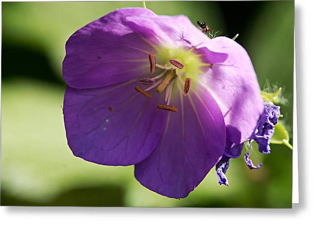 Purple Geranium Greeting Cards - Wild Geranium Greeting Card by Larry Ricker