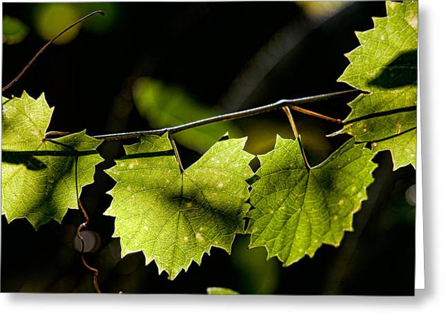 Grape Leaf Greeting Cards - Wild Grape Leaves Greeting Card by Christopher Holmes
