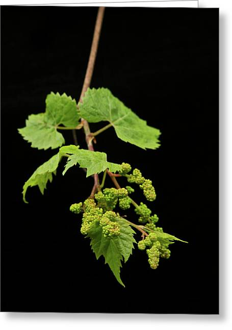 Grape Vines Greeting Cards - Wild Grapes 1995 Greeting Card by Michael Peychich